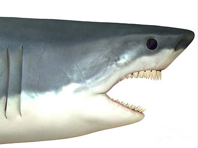 Great White Shark Art Print by Corey Ford