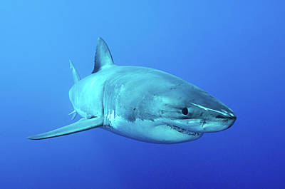 Photograph - Great White Shark, Isla Guadalupe, Baja by Morten Beier