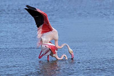 Greater Flamingo, Parc Ornithologique Art Print