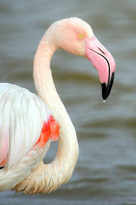 Flamingo Photograph - Greater Flamingo Phoenicopterus Roseus by Panoramic Images