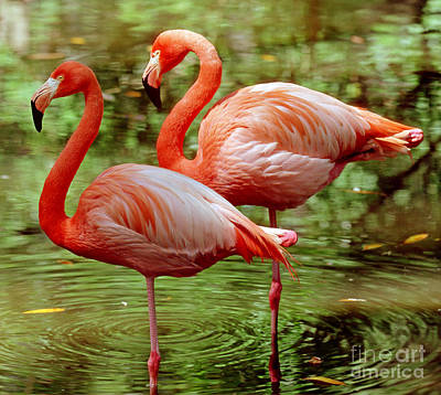 Photograph - Greater Flamingoes  by Millard H Sharp