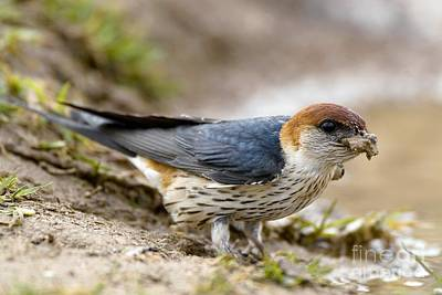 Greater Striped Swallow Art Print