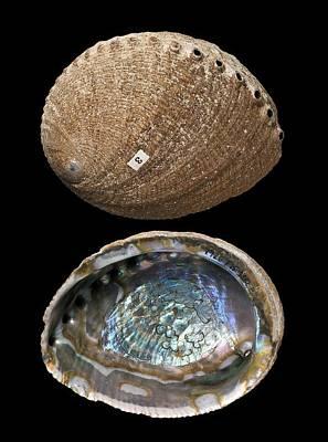 Green Abalone Shells Art Print