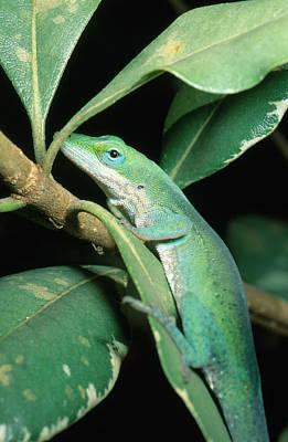 Photograph - Green Anole by Millard H. Sharp