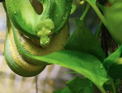 Photograph - Handsome Green Python by Douglas Barnett