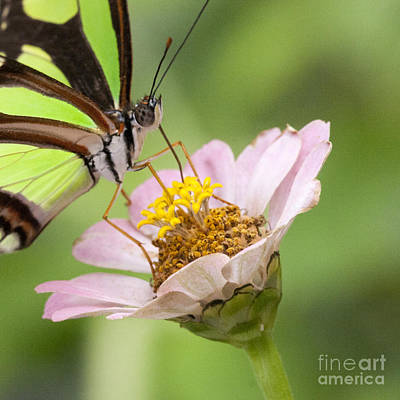 Photograph - Green Butterfly by Chris Scroggins