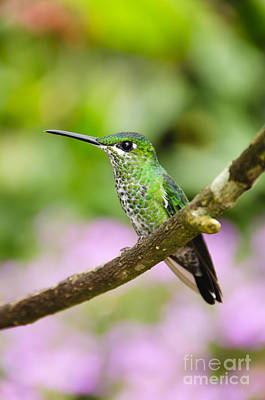Hummingbird Photograph - Green-crowned Brilliant Hummingbird by Oscar Gutierrez