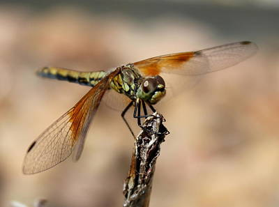 Photograph - Green Dragonfly by Trent Mallett