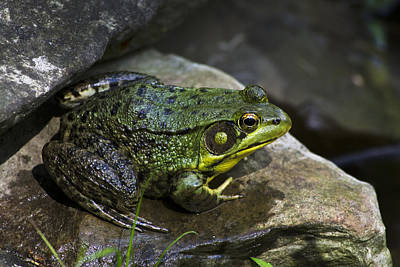 Modern Feathers Art - Green Frog by Christina Rollo