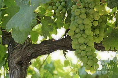 Green Grapes On Vineyards In Summer Art Print