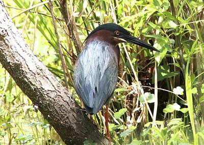 Photograph - Green Heron by Jeanne Kay Juhos