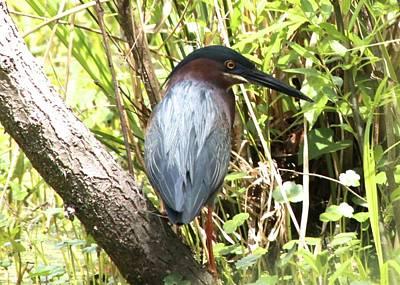 Photograph - Green Heron by Jeanne Kay Juhos