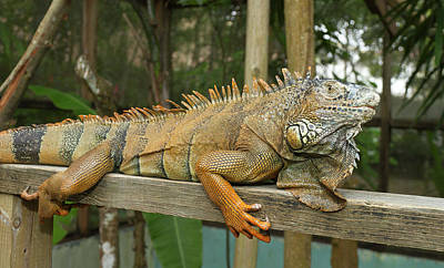 Iguana Photograph - Green Iguana (iguana Iguana by William Sutton
