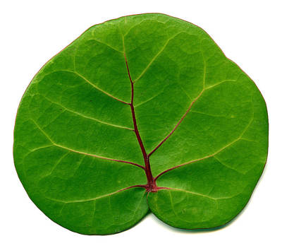 Photograph - Green Leaf by Marek Poplawski