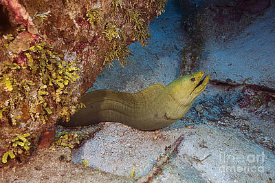 Photograph - Green Moray Eel by JT Lewis
