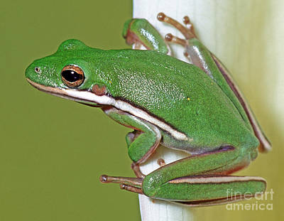 Photograph - Green Treefrog by Millard H Sharp