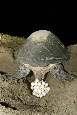 Green Sea Turtle Photograph - Green Turtle Laying Eggs by M. Watson