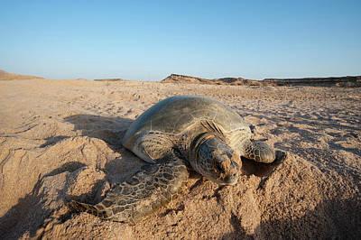 Green Turtle, Ras Al Jinz, Oman Art Print