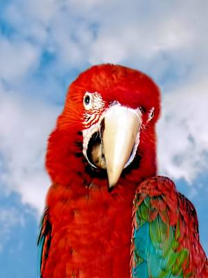 Photograph - Green Winged Red Macaw by David Rich