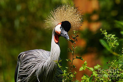 Photograph - Grey Crowned Crane by Nick  Biemans