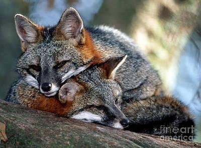 Grey Foxes Art Print by Millard H. Sharp
