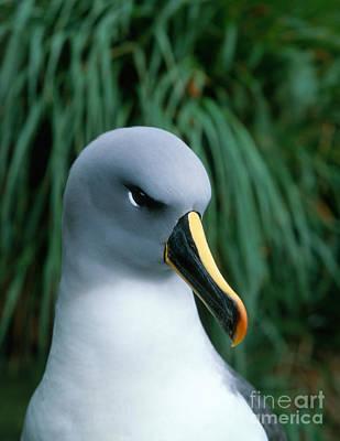 Grey-headed Albatross Art Print by Hans Reinhard
