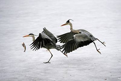 Heron Photograph - Grey Herons Fighting Over A Fish by Bildagentur-online/mcphoto-schulz