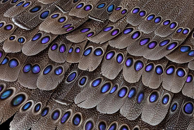 Spotted Tail Photograph - Grey Peacock Tail Feathers by Darrell Gulin