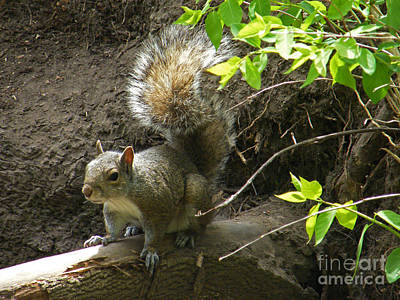 Photograph - Grey Squirrel  by Phil Banks