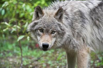 Grey Wolf Art Print by Dr P. Marazzi