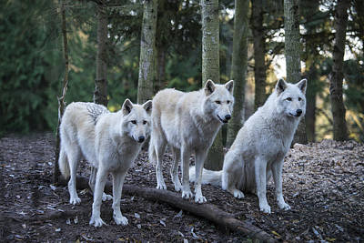 Photograph - Grey Wolf Pack by Mark Newman