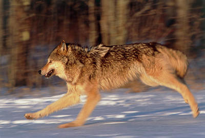 Grey Wolf Running Art Print by William Ervin/science Photo Library
