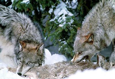 Grey Wolves With A Kill Art Print by William Ervin/science Photo Library