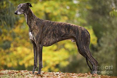 Greyhound Dog Art Print by Jean-Michel Labat