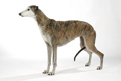Greyhound Dog Art Print by John Daniels