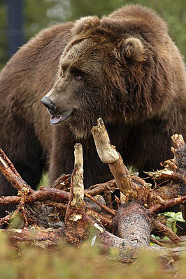Photograph - Grizzly Bear 8 by Lee Kirchhevel