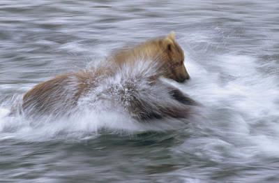 Grizzly Bear Chasing Fish Art Print by Matthias Breiter