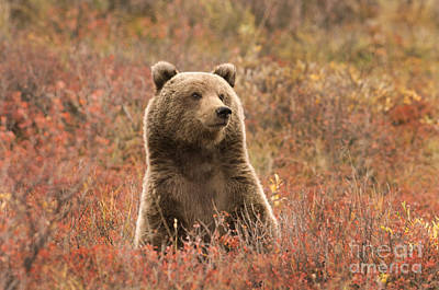 Photograph - Grizzly Bear Cub by Ron Sanford
