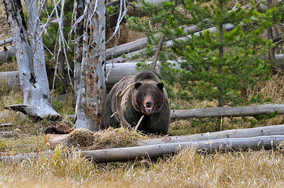 Photograph - Grizzly Bear Guarding Kill by Thomas And Pat Leeson