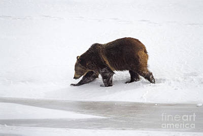 Grizzly Bear Walking In Snow Art Print by Mike Cavaroc