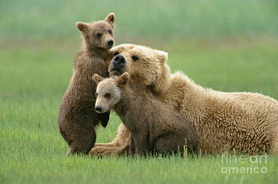 Brown Bear Photograph - Grizzly Cubs Play With Mom by Yva Momatiuk John Eastcott