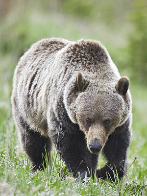 Photograph - Grizzly Looking For Flowers To Eat by Richard Berry