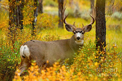 Art Print featuring the photograph Gros Ventre Buck by Aaron Whittemore