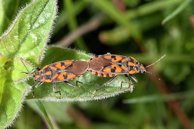 Ground Bugs Mating Art Print