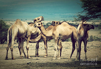 David Bowie - Group of camels in Africa by Michal Bednarek