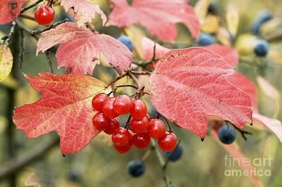 Viburnum Photograph - Guelder Rose Berries Viburnum Opulus by Bob Gibbons