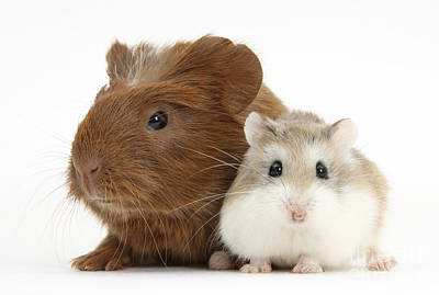 Hamster Baby Photograph - Guinea Pig And Hamster by Mark Taylor