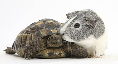House Pet Photograph - Guinea Pig And Tortoise by Mark Taylor