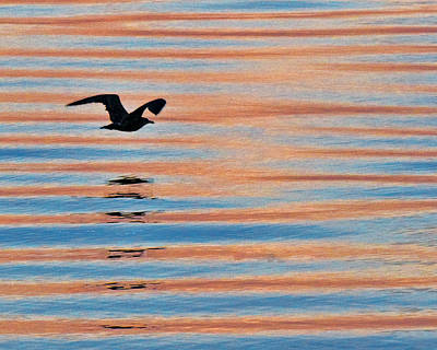 Photograph - Seagull At Sunrise On Penoboscot Bay 2 by Ginger Wakem