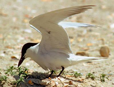 Photograph - Gull-billed Tern Sterna Nilotica by Millard H. Sharp